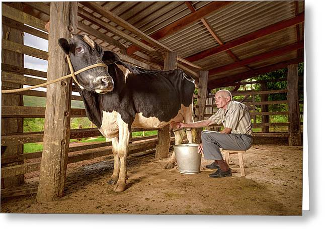 Man Milking A Cow In A Barn Greeting Card