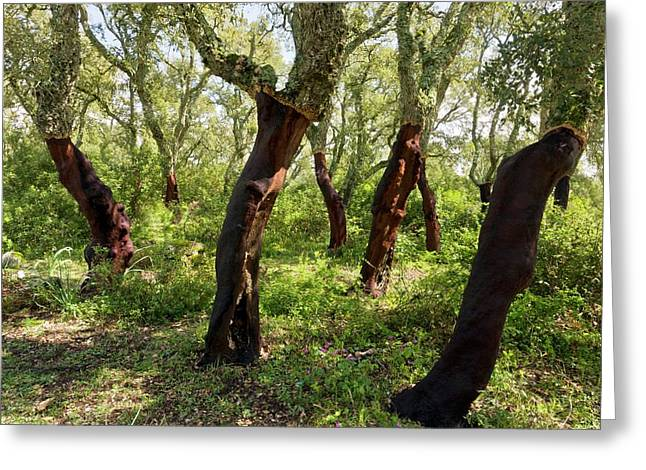 Managed Cork Oak (quercus Suber) Forest Greeting Card by Bob Gibbons