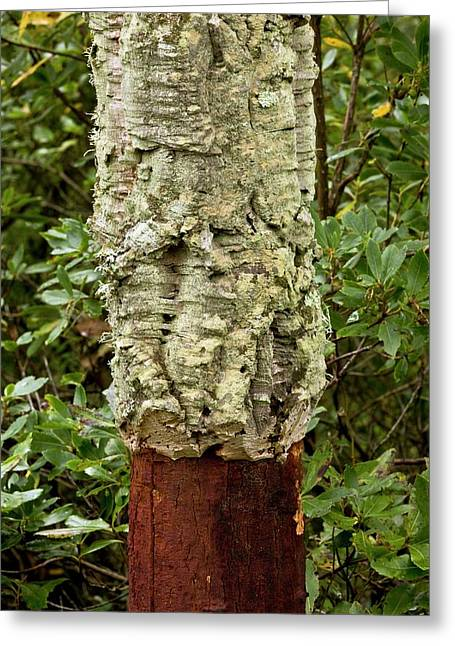 Managed Cork Oak (quercus Suber) Tree Greeting Card by Bob Gibbons