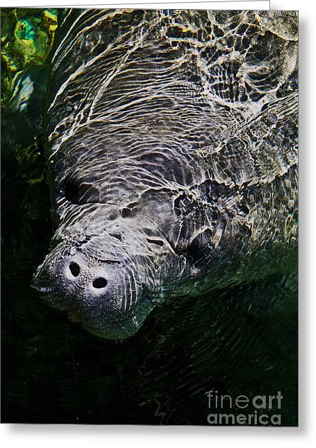 Greeting Card featuring the photograph Manatee 01 by Melissa Sherbon