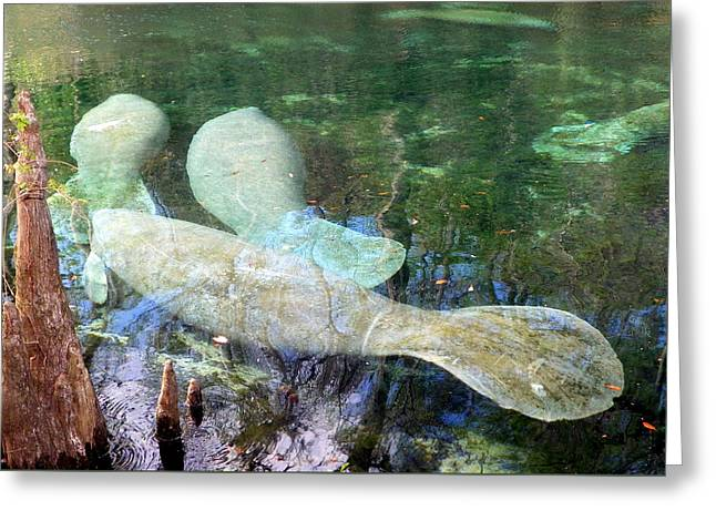 Manatee Gathering Greeting Card by Sheri McLeroy