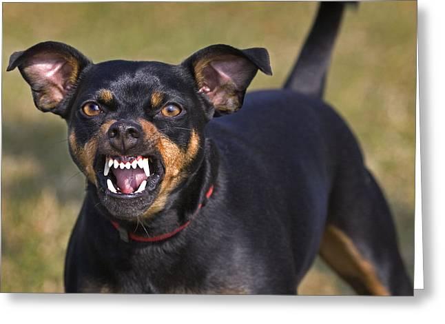 Manchester Terrier Snarling Greeting Card by Johan De Meester