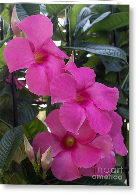 Mandevilla Beauty Greeting Card