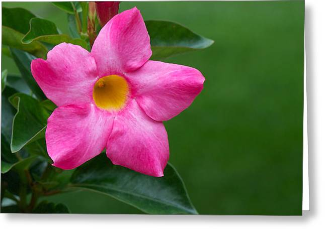 Mandevilla Greeting Card by Nature and Wildlife Photography