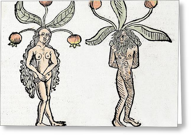 Mandrakes Greeting Card by Paul D Stewart