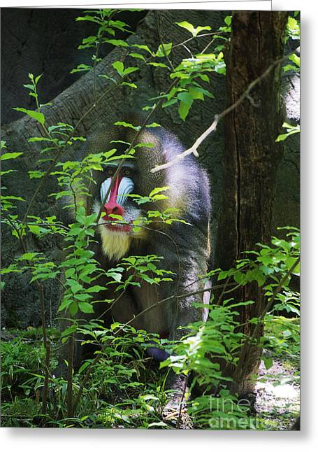 Greeting Card featuring the photograph Mandrill Baboon by Rafael Quirindongo