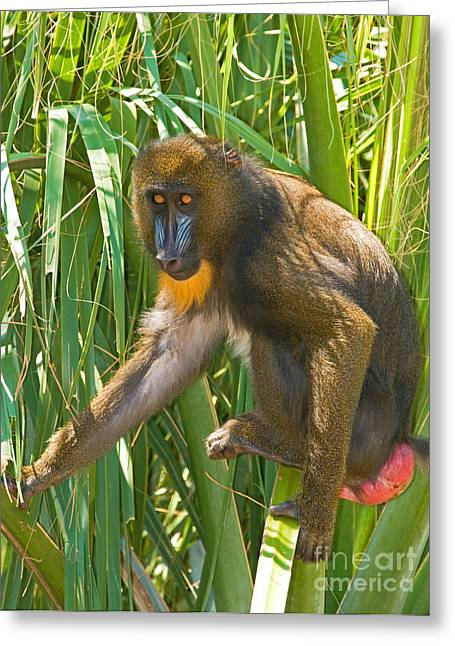 Mandrill Female Greeting Card by Millard H. Sharp