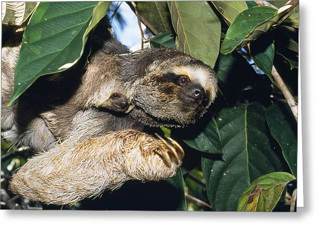Maned Three-toed Sloths Greeting Card by M. Watson