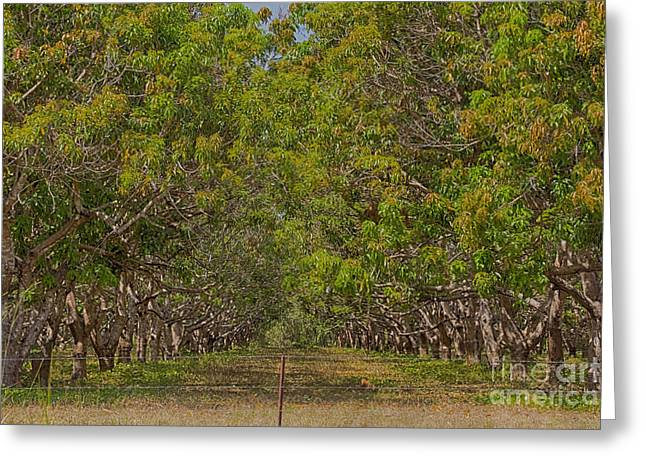 Mango Orchard Greeting Card by Douglas Barnard