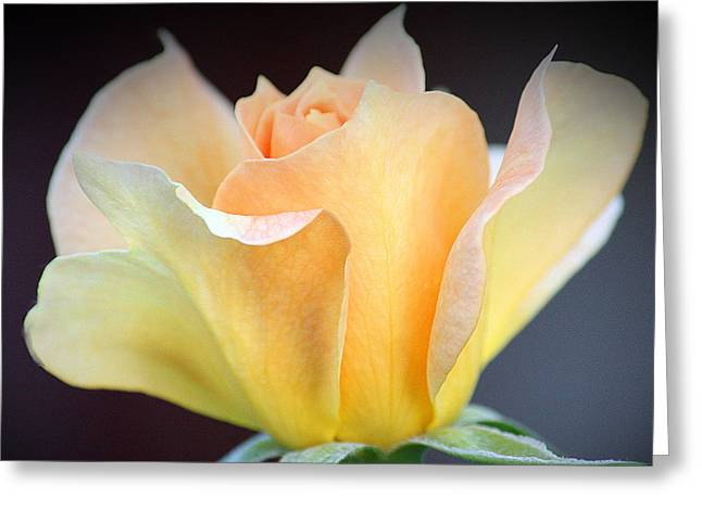 Greeting Card featuring the photograph Mango's Dance by The Art Of Marilyn Ridoutt-Greene
