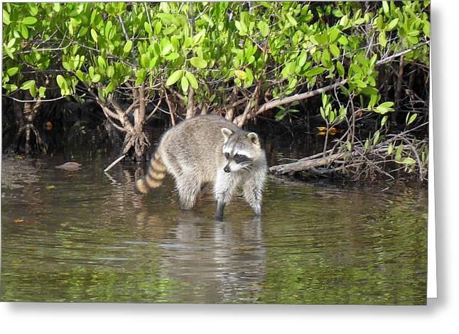 Mangrove Coon Greeting Card by Bob Jackson