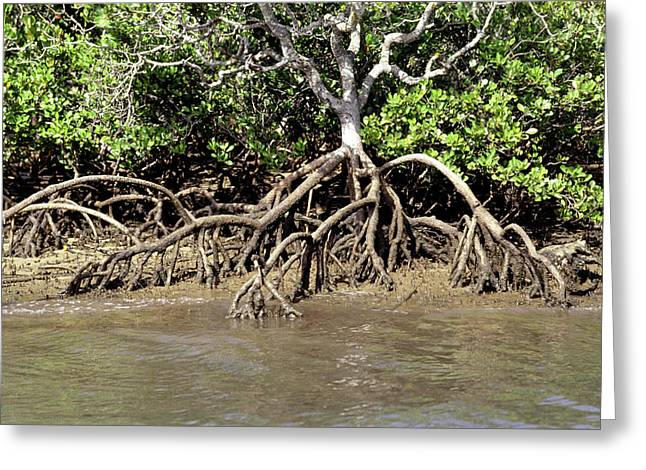 Mangrove Plant With Aerial Roots Greeting Card