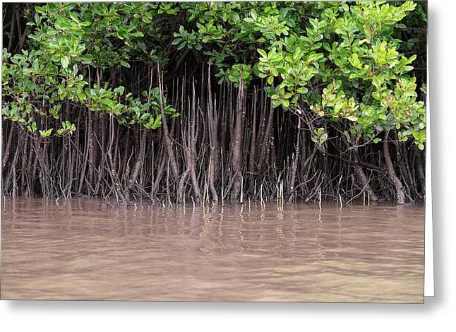 Mangrove Roots Greeting Card by Martin Rietze