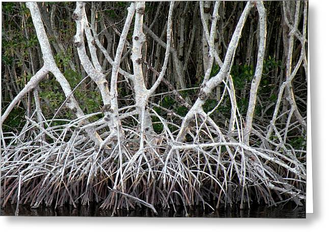 Mangrove Roots Greeting Card by Rosalie Scanlon