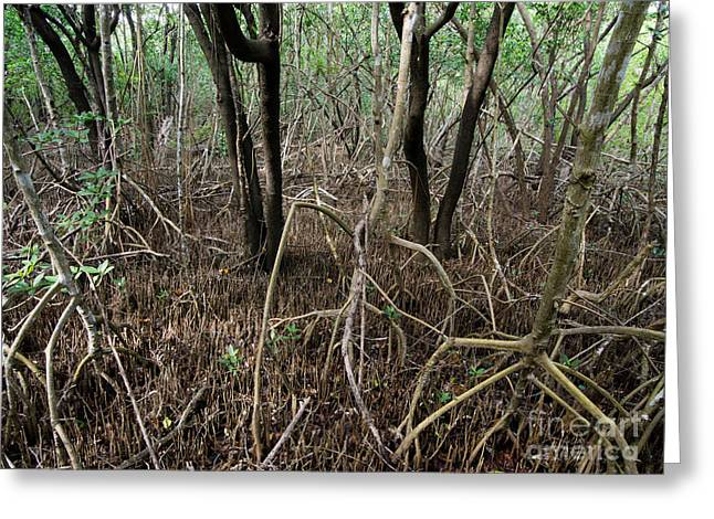 Mangrove Roots Greeting Card by Tracy Knauer