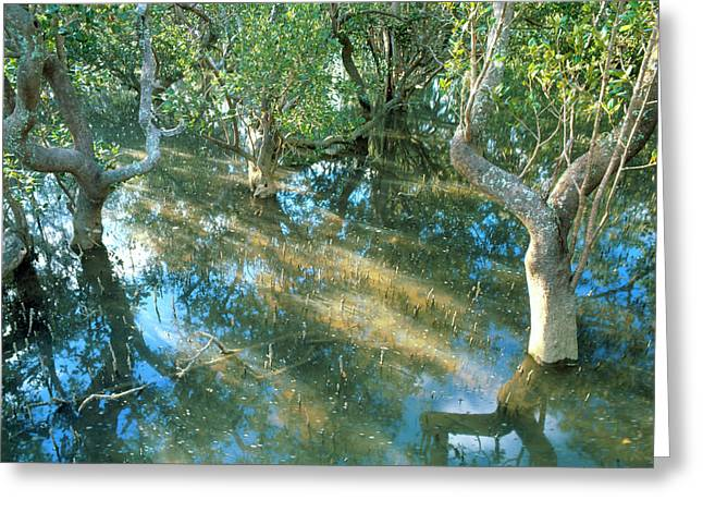 Mangrove Swamp During A High Tide Greeting Card