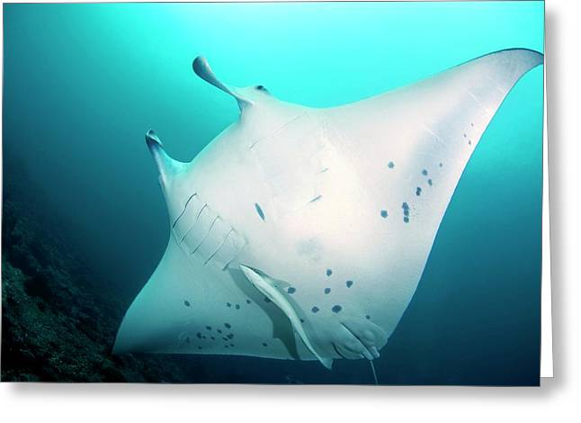 Manta Ray And Remoras Greeting Card by Scubazoo/science Photo Library