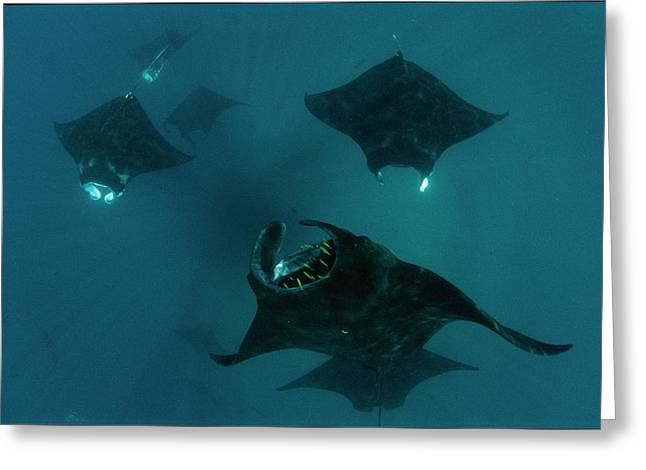 Mantas Glide In Currents Ripping Greeting Card by David Doubilet