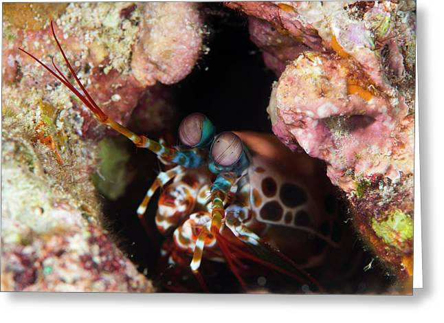 Mantis Shrimp On A Reef Greeting Card