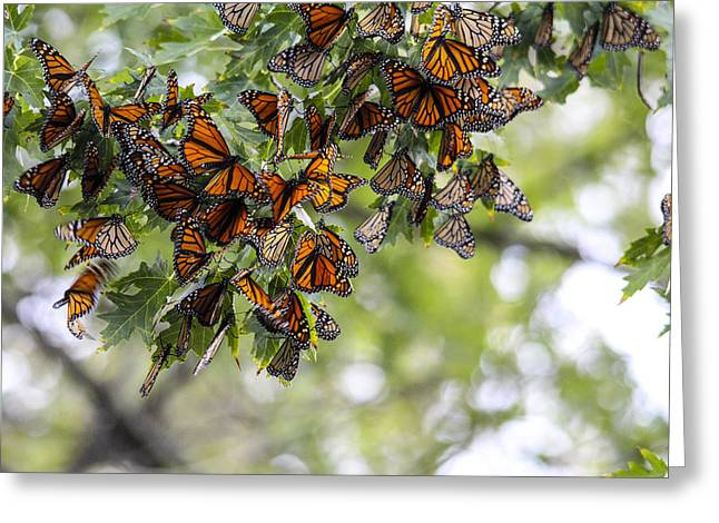 Many Migrant Monarchs Greeting Card