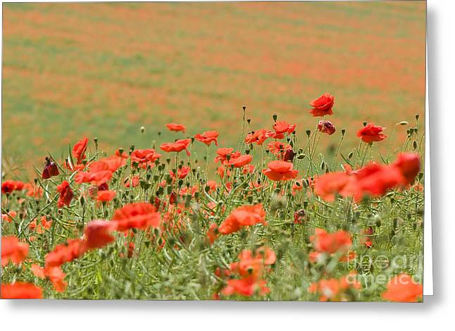 Many Poppies Greeting Card by Anne Gilbert