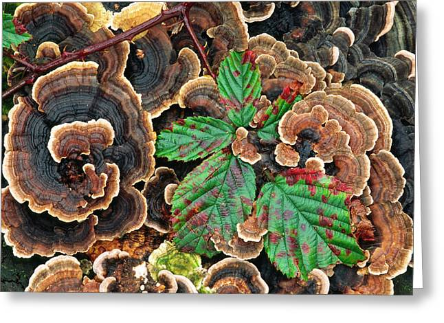 Many-zoned Polypore Or Turkey-tail Greeting Card by Nigel Downer