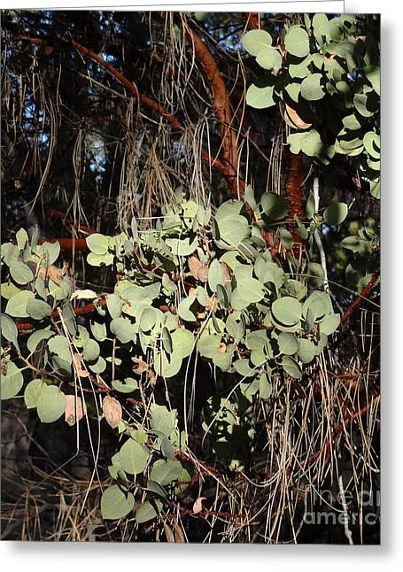 Manzanita Greeting Card