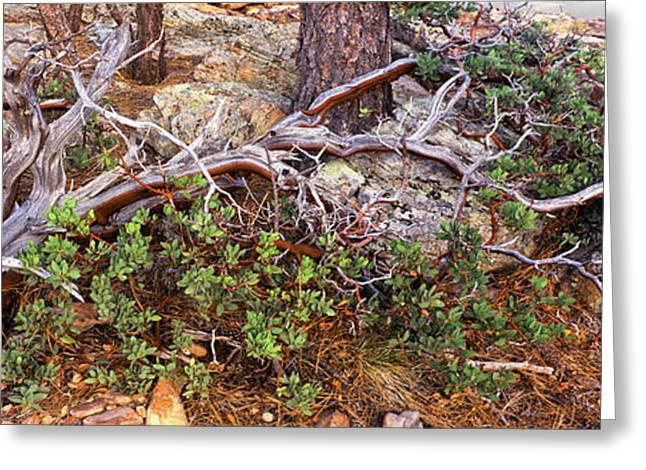 Manzanita Clings To Life Greeting Card
