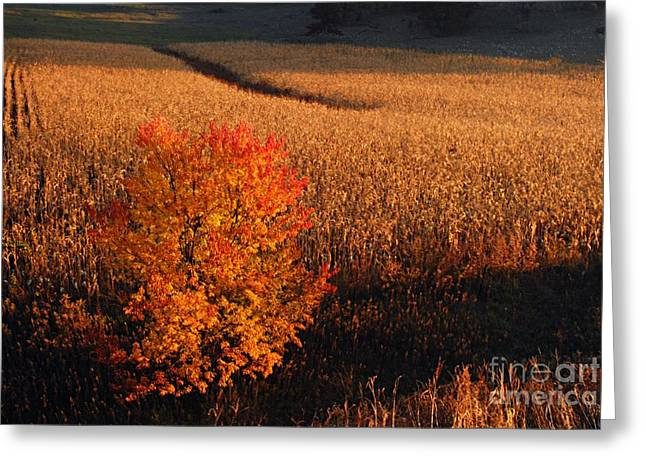 Maple And Cornfield At Dawn Greeting Card by Larry Ricker