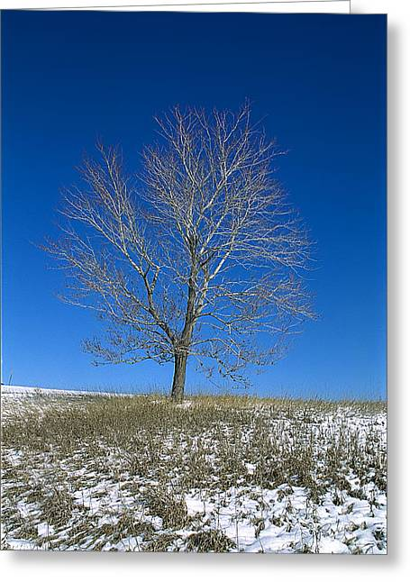 Maple In Winter Greeting Card by Jessie Parker
