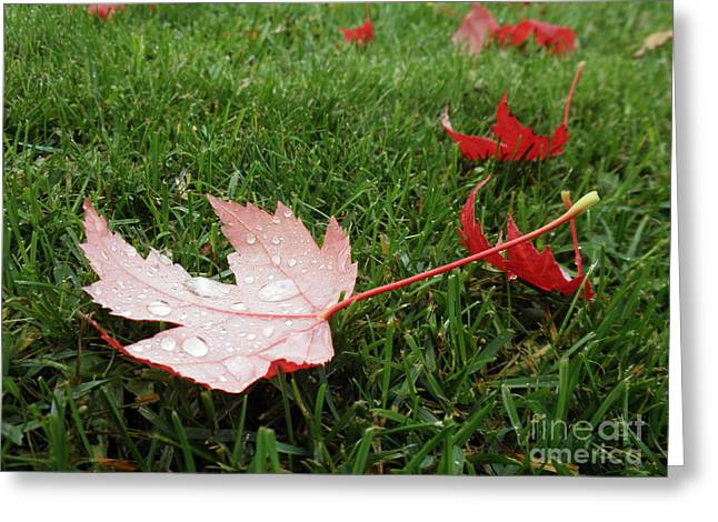 Maple Leaf In Canada Greeting Card