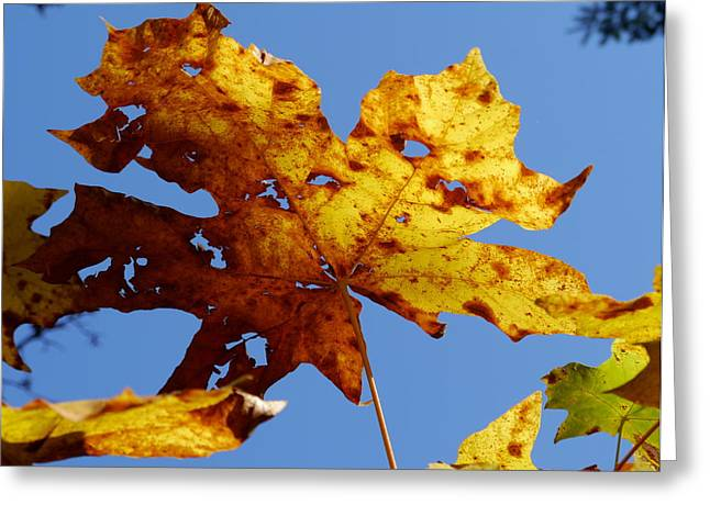Maple Leaf On A Blue Sky Greeting Card