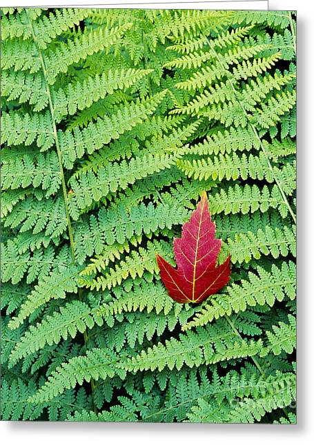 Greeting Card featuring the photograph Maple Leaf On Ferns by Alan L Graham