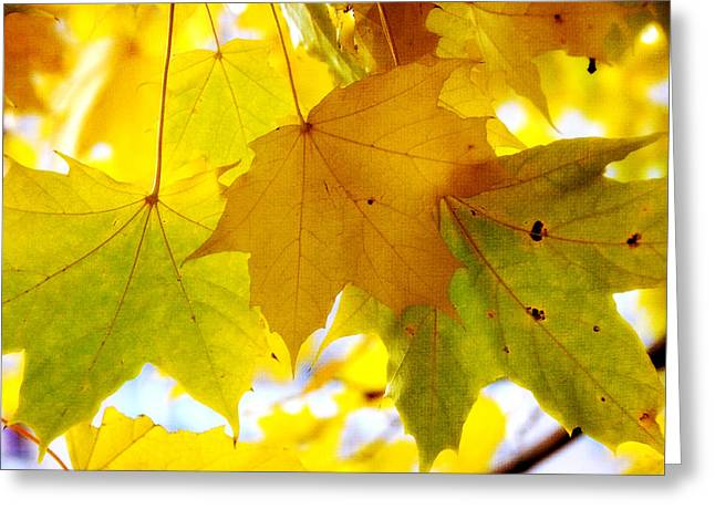 Maple Leaves In Autumn Glory Greeting Card by Jenny Rainbow