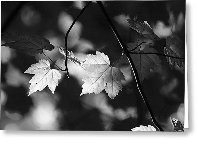 Maple Leaves In Black And White Greeting Card