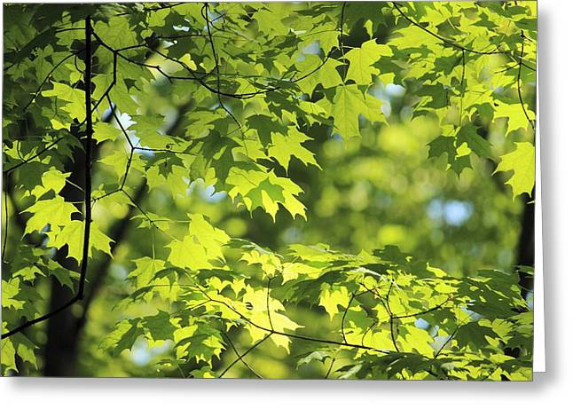 Maple Leaves In Spring Greeting Card by Dennis Lundell