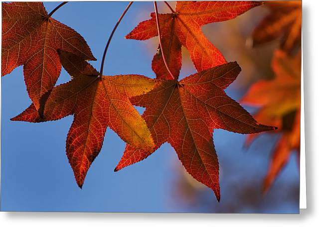 Greeting Card featuring the photograph Maple Leaves In The Fall by Stephen Anderson