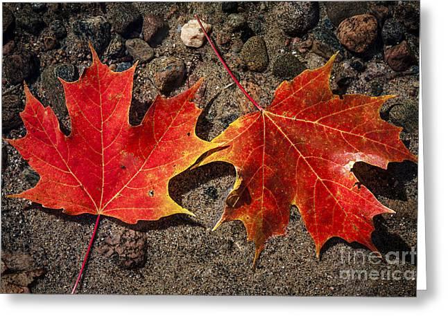Maple Leaves In Water Greeting Card by Elena Elisseeva