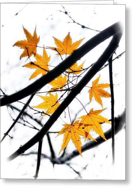 Maple Leaves Greeting Card by Jonathan Nguyen