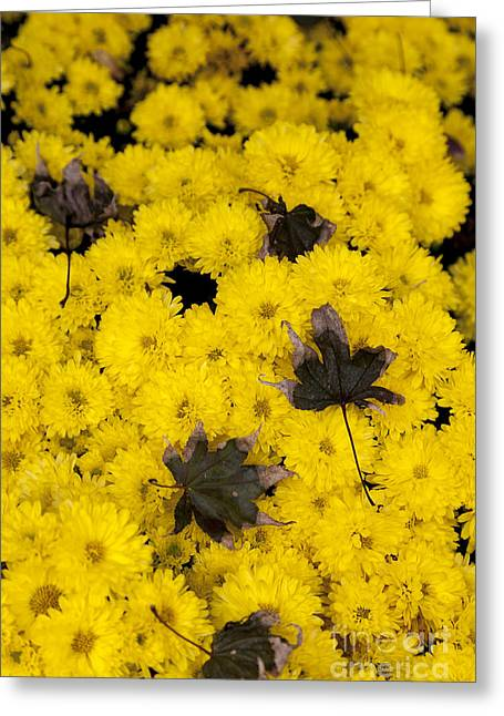 Maple Leaves On Chrysanthemum Greeting Card