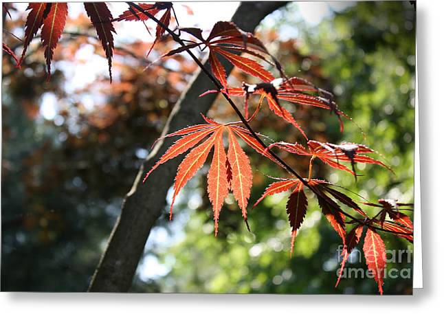 Greeting Card featuring the photograph Maple On Pine by Paul Cammarata