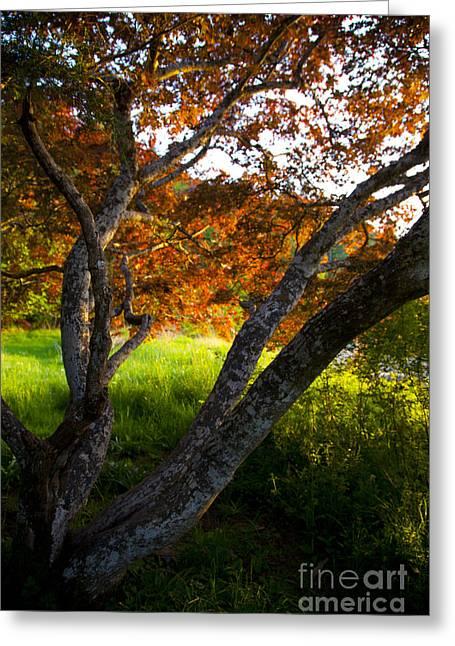 Maple Red Burgoyne Greeting Card by Graham Foulkes