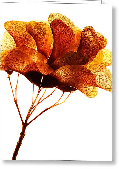 Maple Seed Pod Cluster Greeting Card