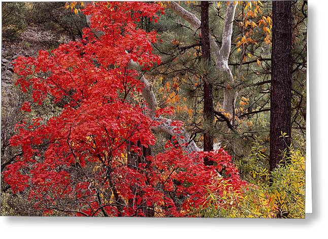 Maple Sycamore Pine-h Greeting Card