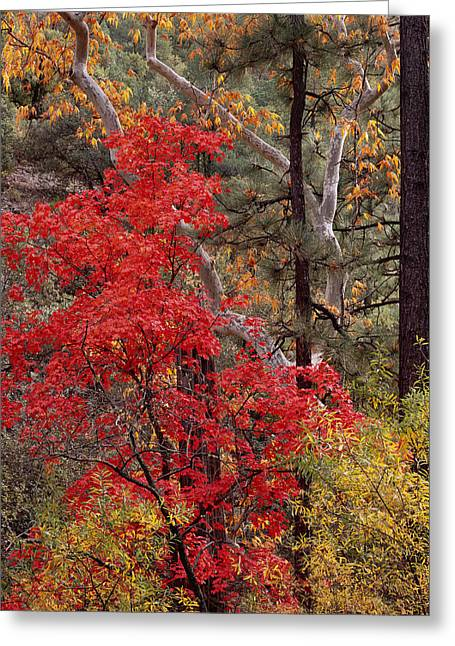 Maple Sycamore Pine Greeting Card