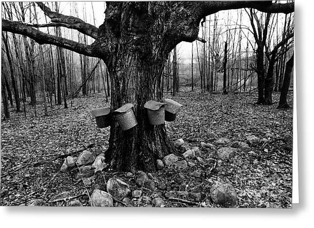 Maple Syrup Collection Greeting Card by Bedrich Grunzweig