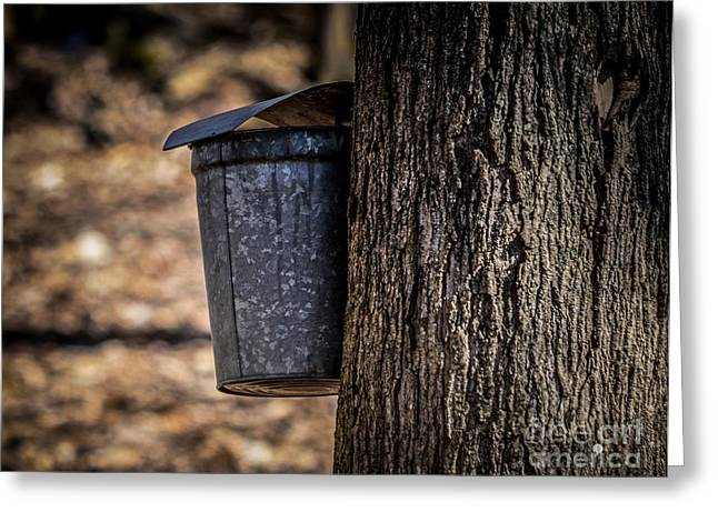 Maple Syrup Time Collecting Sap Greeting Card