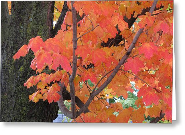 Maple Tree  Greeting Card by Lyle Crump