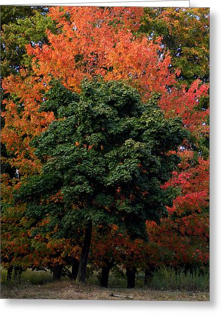 Maple Tree Variations Greeting Card by Michel Mata