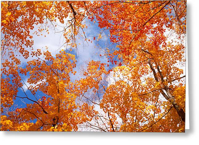 Maple Trees In Autumn, Vermont, Usa Greeting Card by Panoramic Images